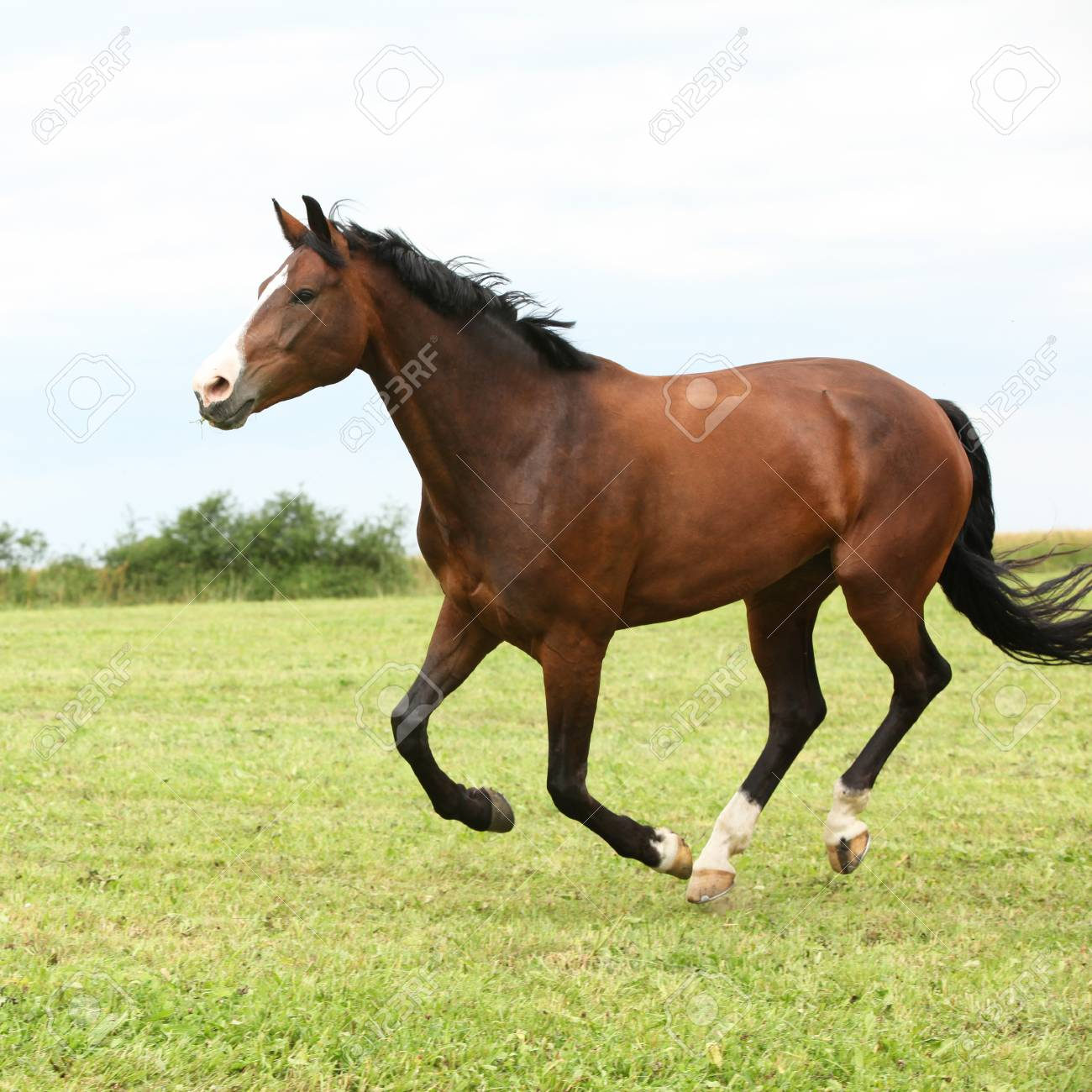 Beautiful Brown Horse Running In Freedom On The Grass Stock Photo Picture And Royalty Free Image Image 100732764