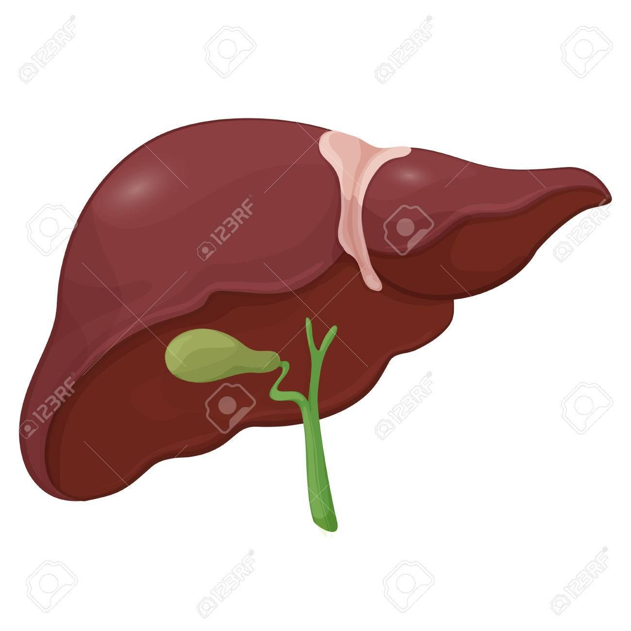 Ilustración De Hígado Humano Con Vesícula Biliar En El Sistema ...