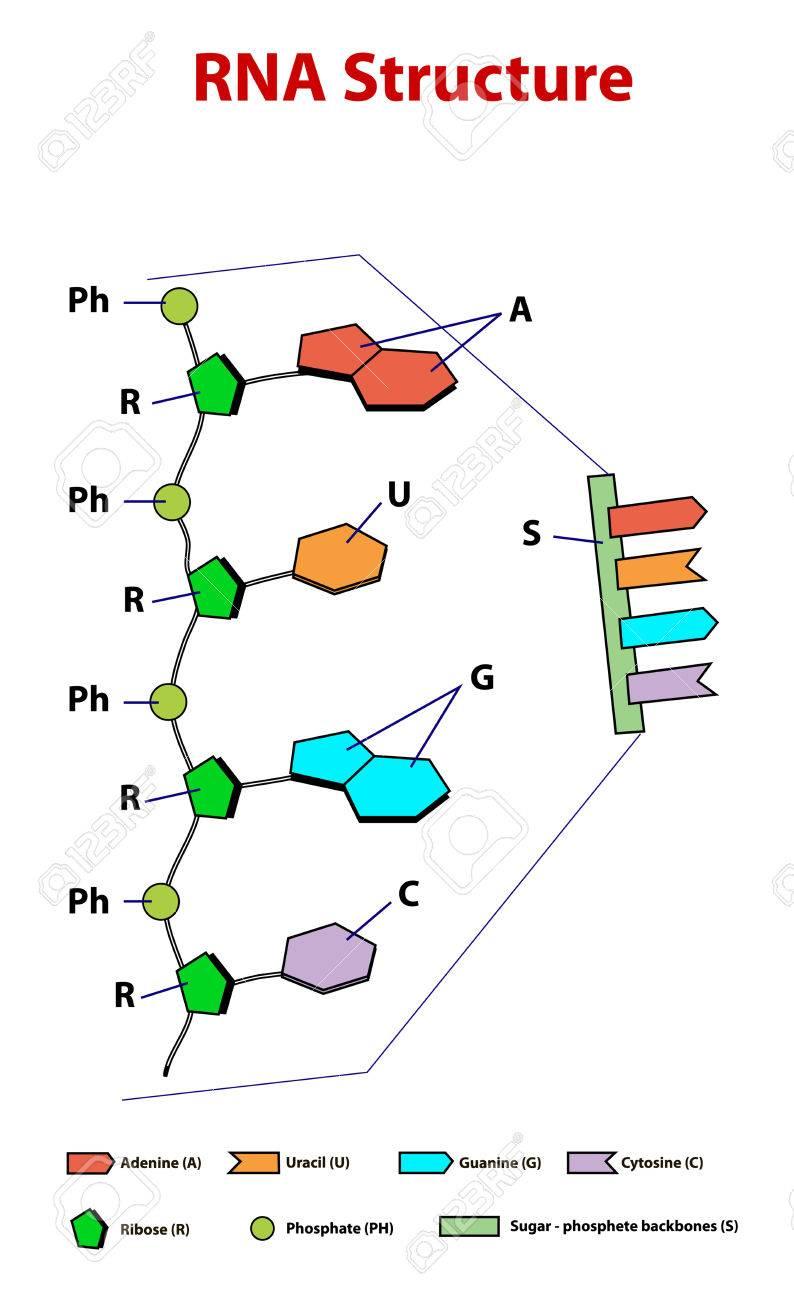 Rna 構造方式教育 .easy RNA の...