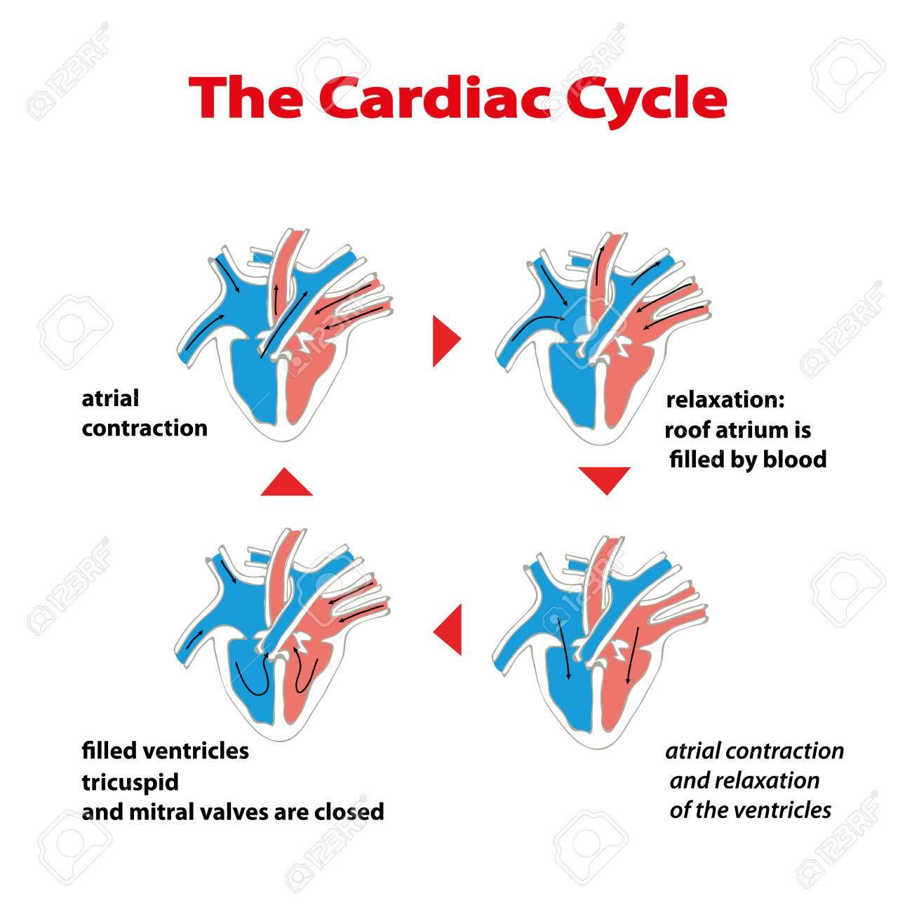 Herzzyklus Herzzyklus Des Herzens Auf Weiß Isoliert. Herzzyklus Info ...
