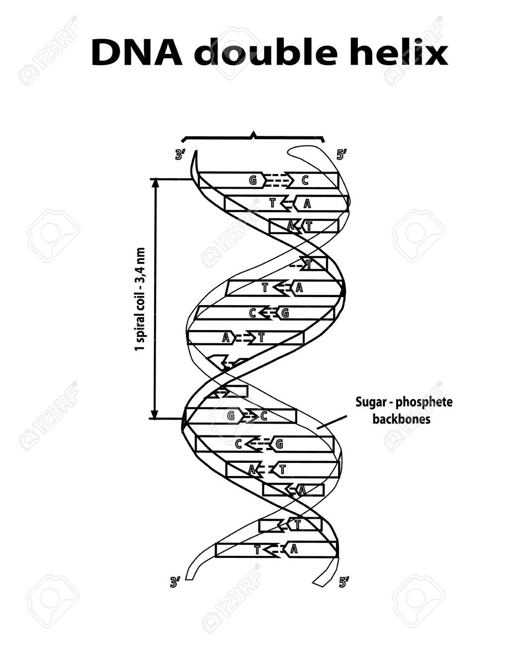 dna structure double helix in black lines on white background  nucleotide,  phosphate, sugar