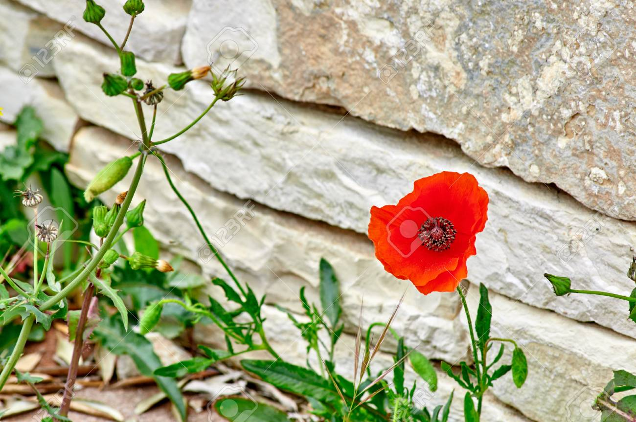 Red Poppy Flower Growing Near A Stone Wall Stock Photo Picture And