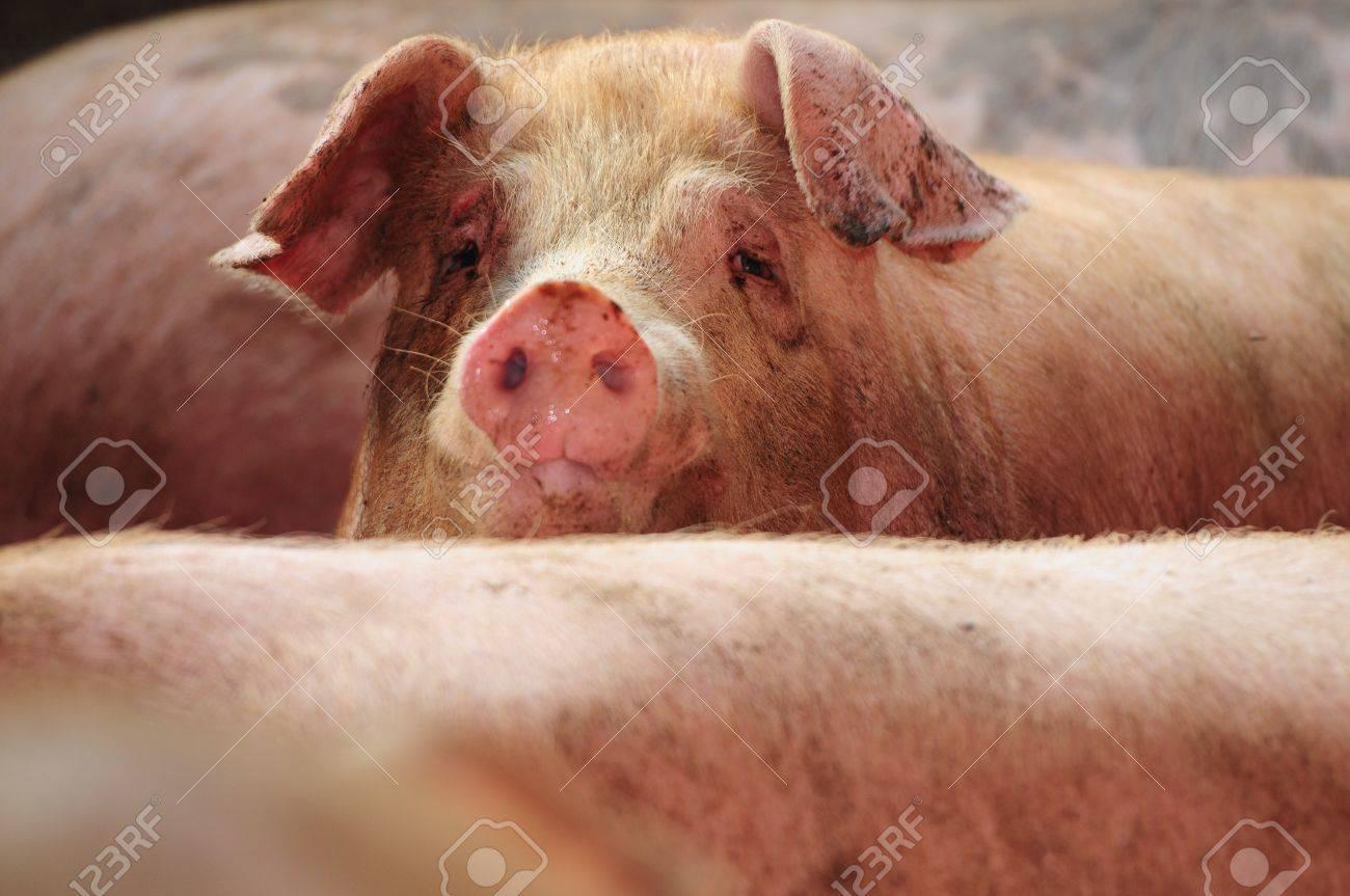 curious pig Stock Photo - 15317566