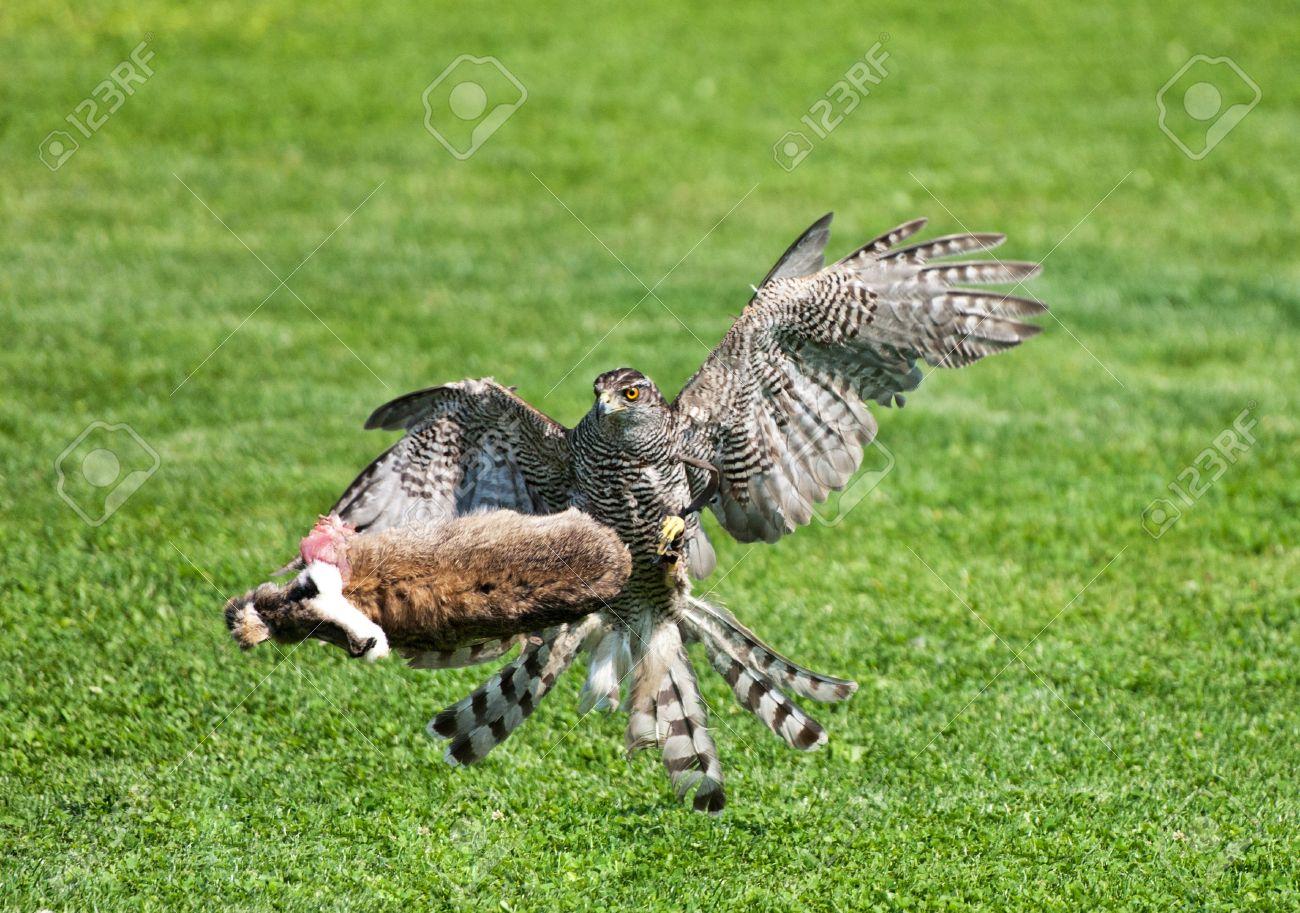 goshawk killing its prey Stock Photo - 21439158