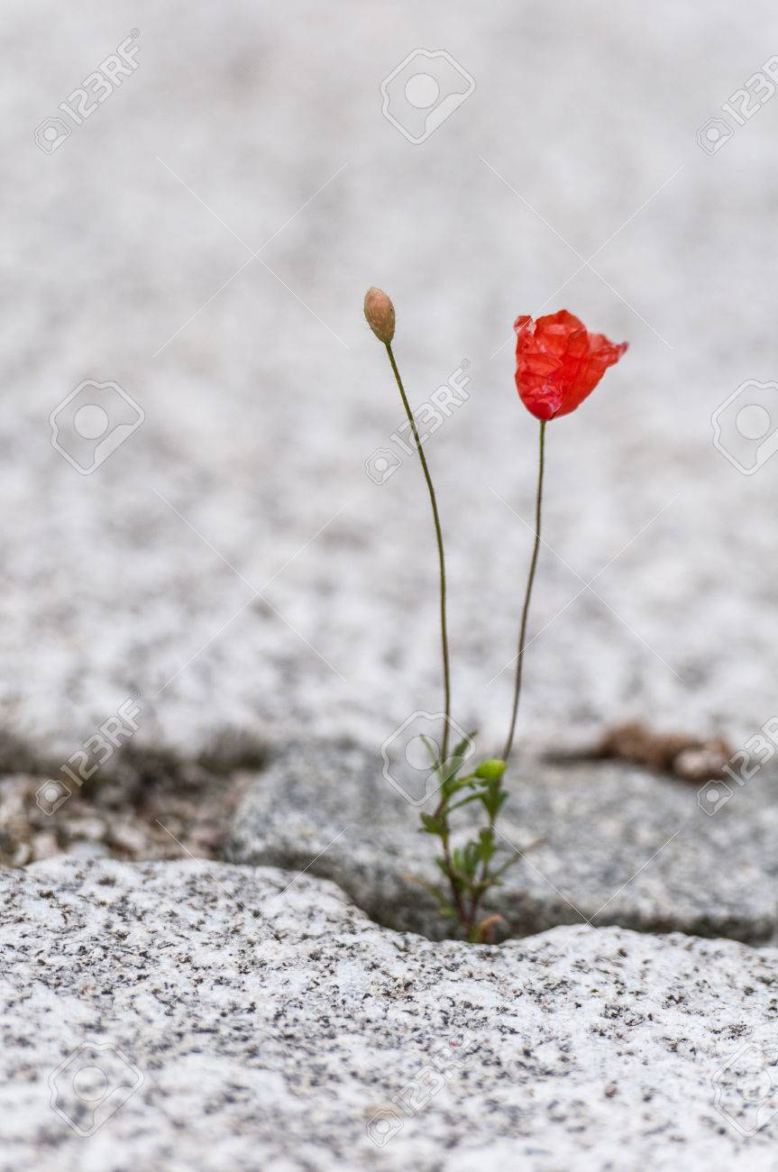 red poppy flower growing out of the gap of a cobblestone plaster