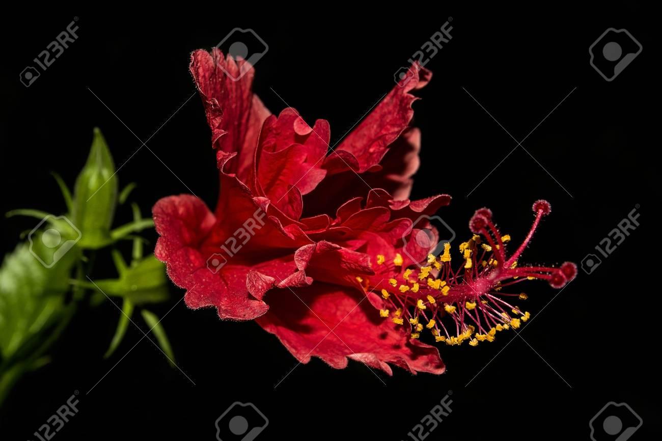 Immagini Stock Fiore Rosso Hibiscus E Giallo Stame Isolato Su