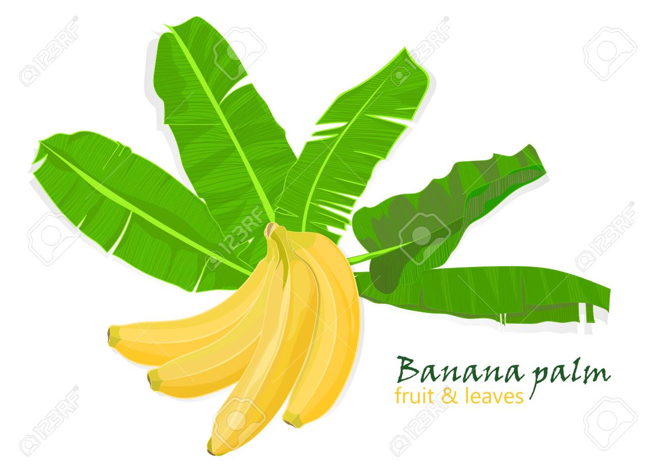 Branch Tropical Palm Banana Leaves And Fruits Realistic Drawing In Flat Color Style Isolated