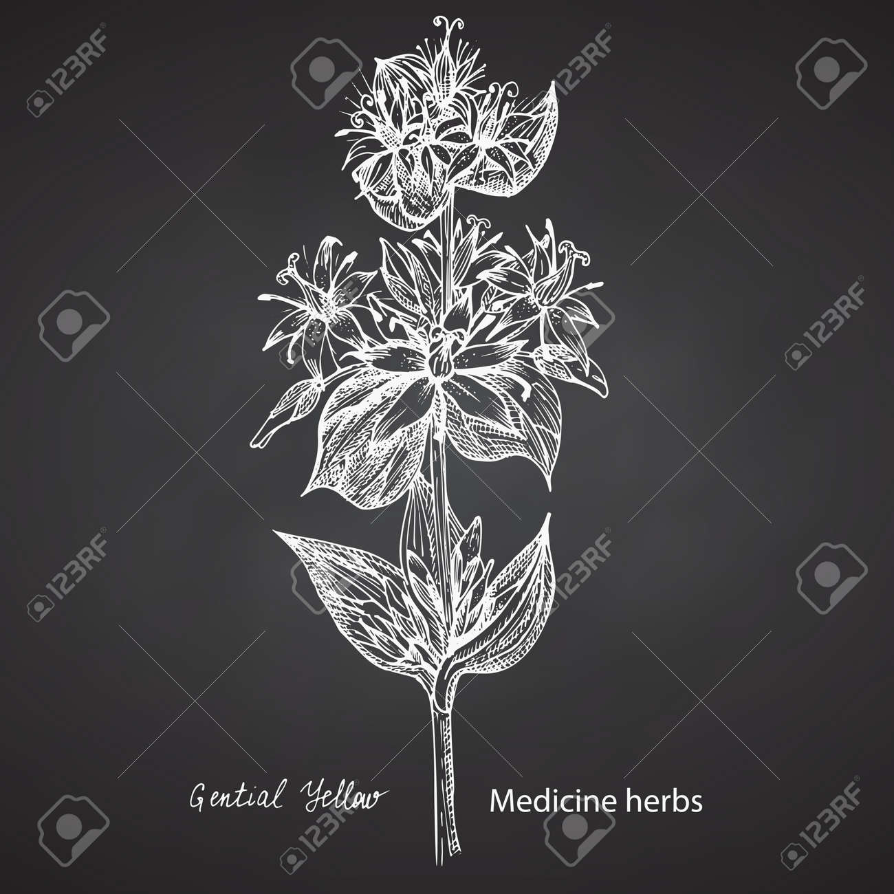 Set hand drawn of Gentian yellow, lives and flowers in white color isolated on chalkboard background. Retro vintage graphic design. Botanical sketch drawing, engraving style. Vector. - 162597288