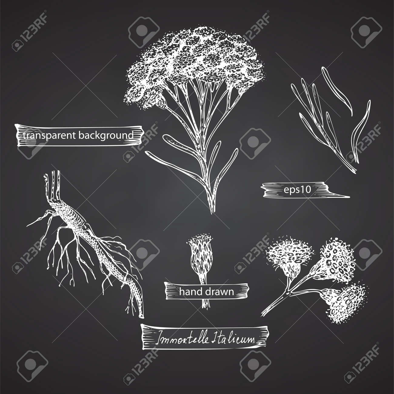 Set hand drawn of immortelle italian, Helichrysum flowers in white color isolated on chalkboard background. Retro vintage graphic design. Botanical sketch drawing, engraving style. - 162597296