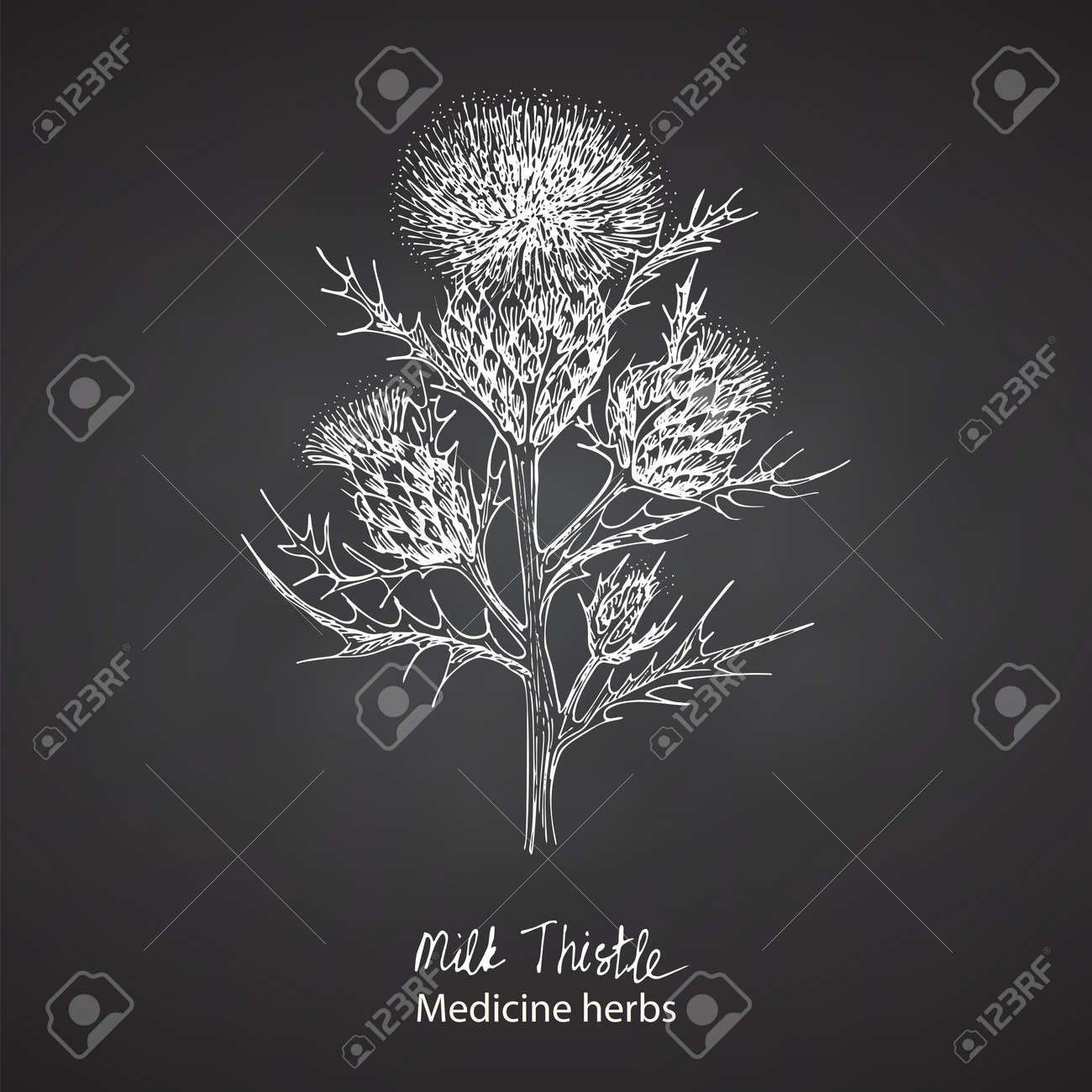 Set hand drawn of Milk Thistle, lives and flowers in White color isolated on chalkboard background. Retro vintage graphic design. Botanical sketch drawing, engraving style. Vector. - 162597301