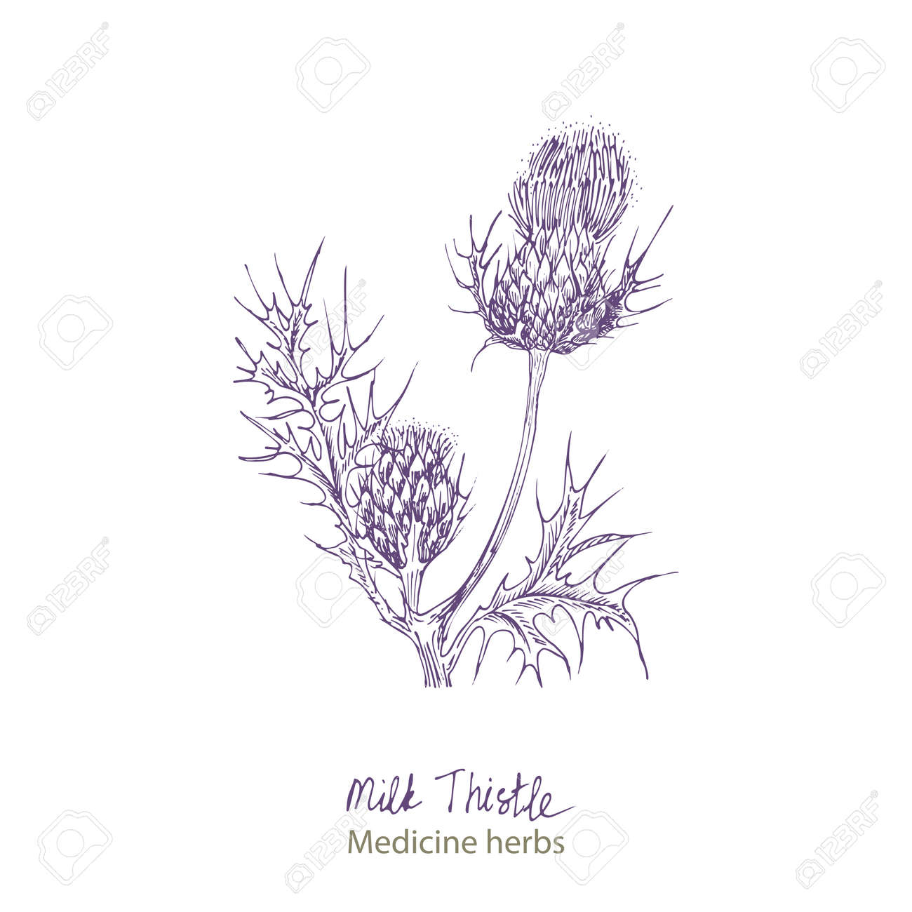 Set hand drawn of Milk Thistle, lives and flowers in black color isolated on white background. Retro vintage graphic design. Botanical sketch drawing, engraving style. Vector. - 162597304