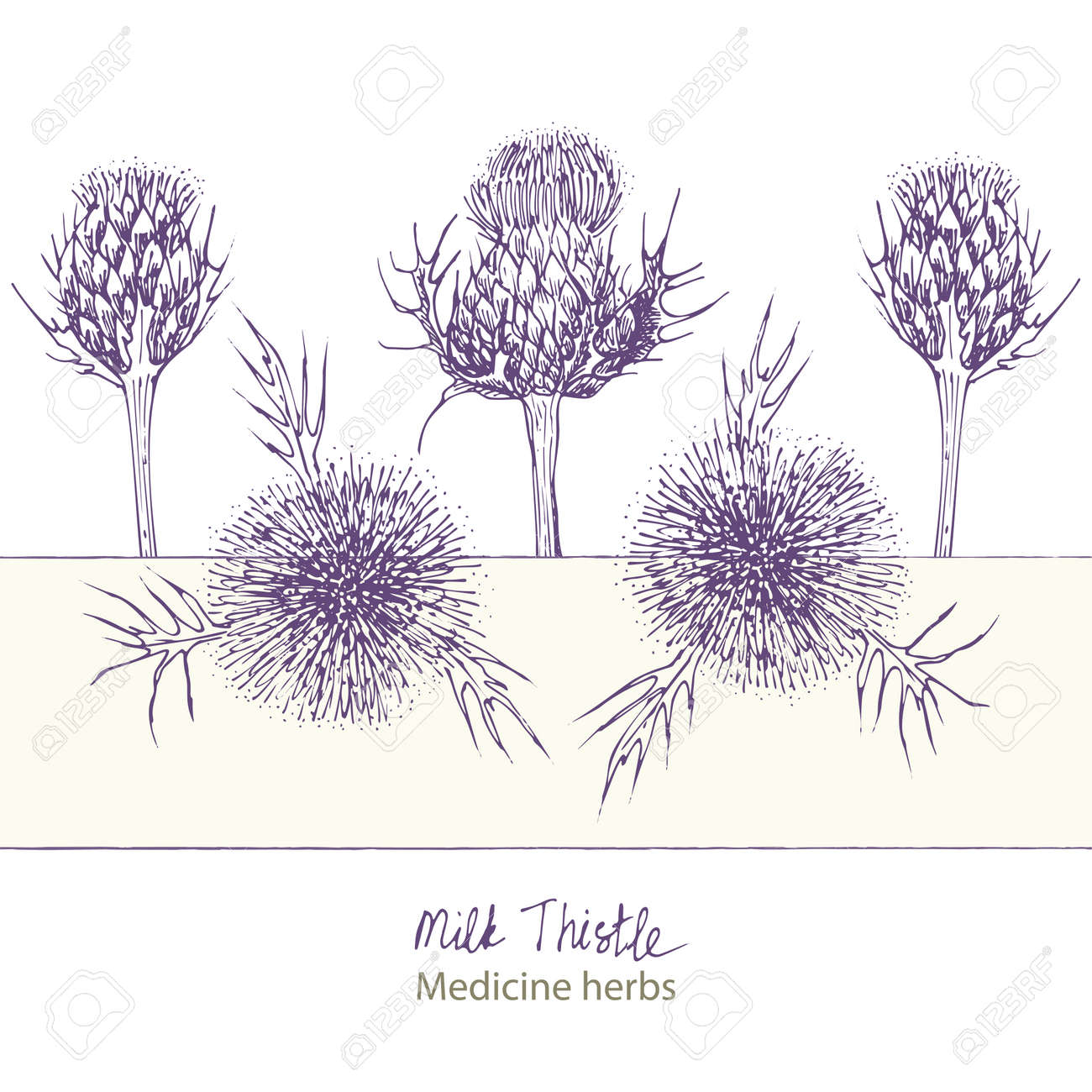 Set hand drawn of Milk Thistle, lives and flowers in black color isolated on white background. Retro vintage graphic design. Botanical sketch drawing, engraving style. Vector. - 162597486