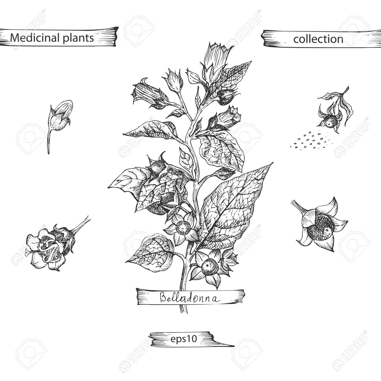 Set hand drawn of Belladonna, lives and flowers in black color isolated on white background. Retro vintage graphic design. Botanical sketch drawing, engraving style. Vector . - 163813652