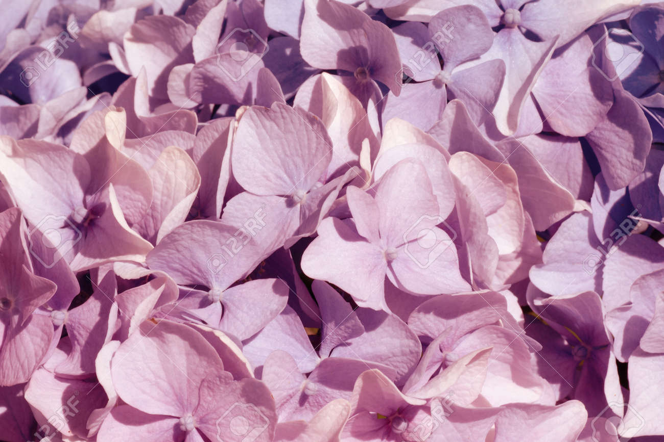 Pink hydrangea Fine Art Floral Natural Textures. Portrait Photo Textures. Digital Studio Background, Best for cute family photos, atmospheric newborn designs Overlays. - 165326814