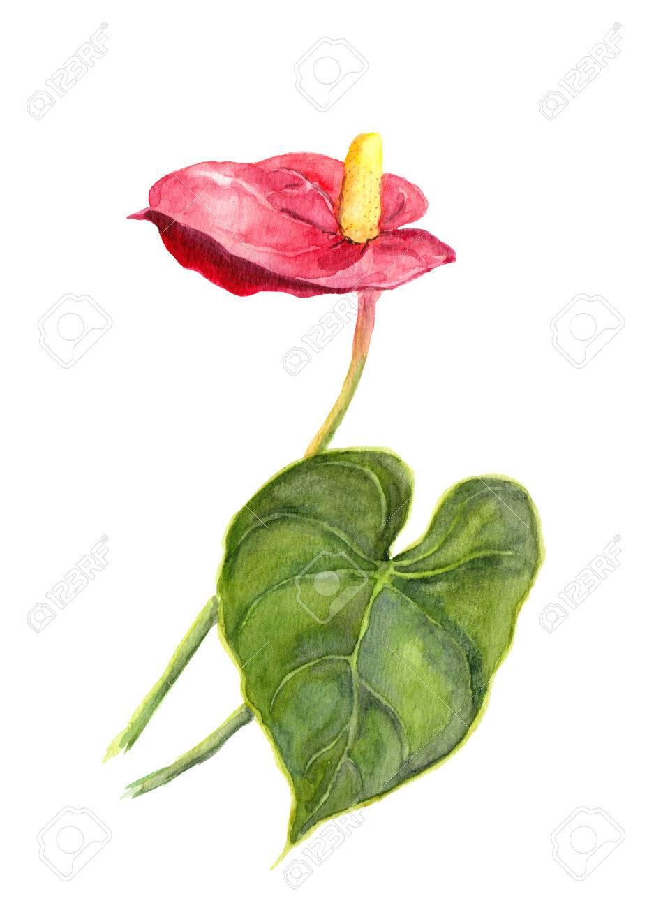 Цветок красный кала