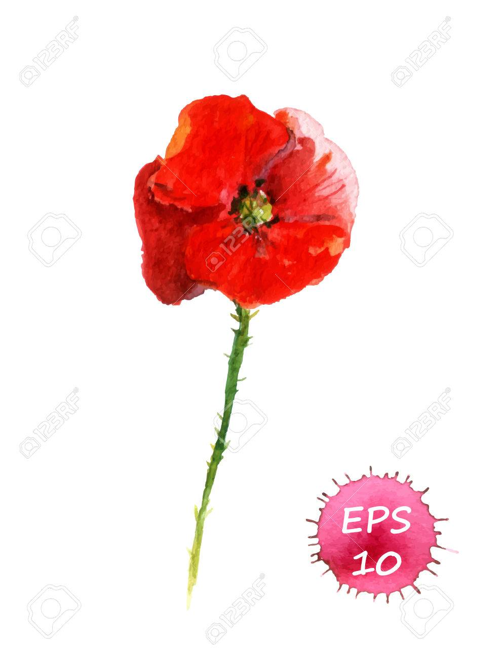 Poppy Flower Isolated Watercolor Hand Drawing Vector Royalty Free