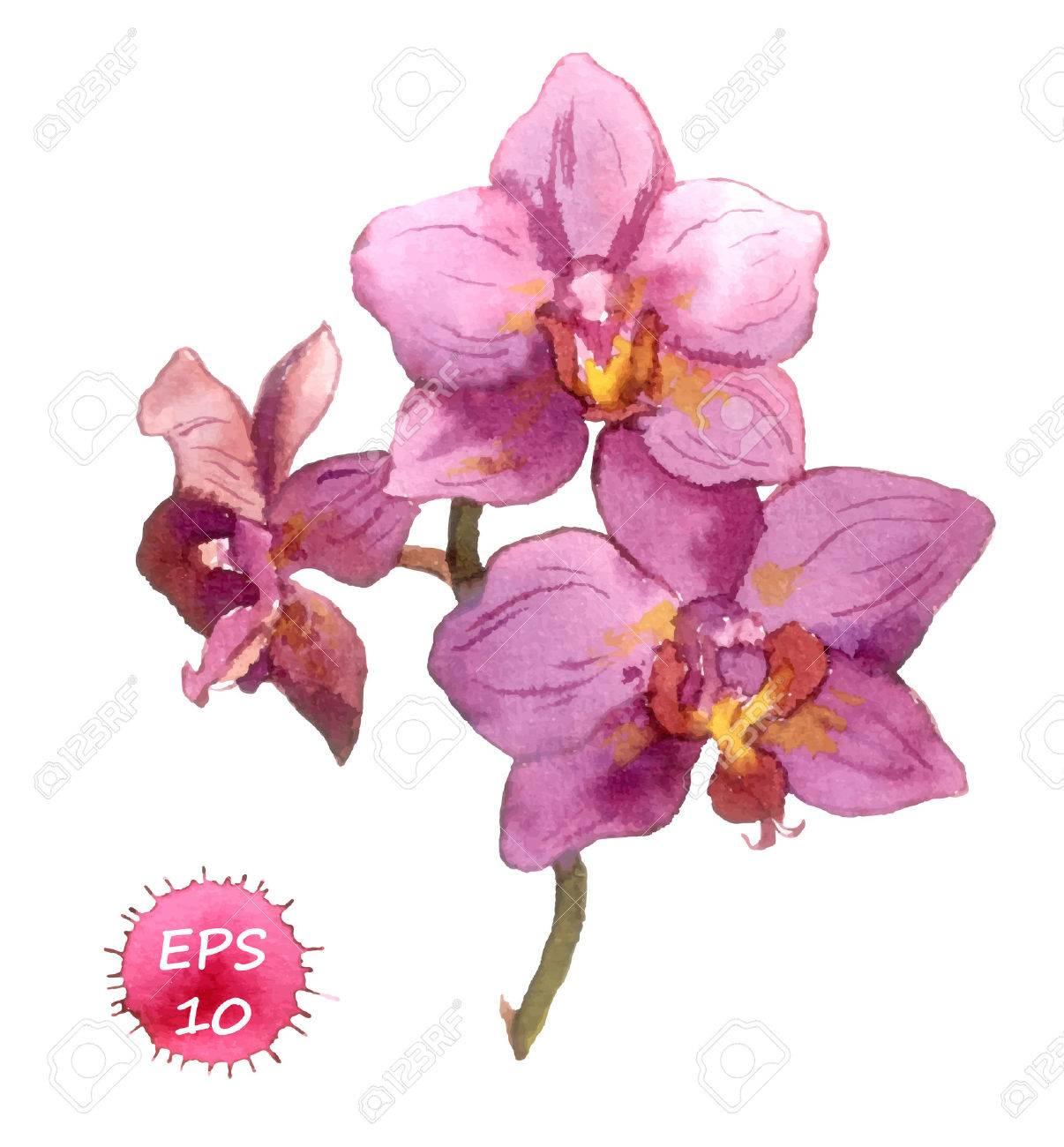 Dessin Fleur D Orchidée une fleur d'orchidée isolé, dessin à la main aquarelle clip art