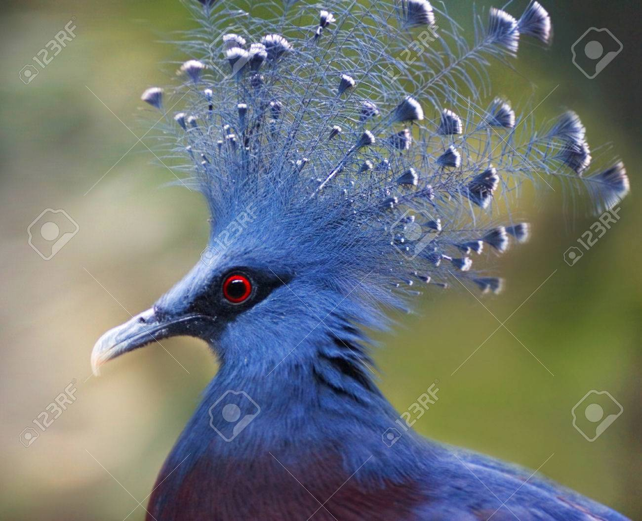 Victoria Crowned Pigeon Goura Victoria Closeup Stock Photo, Picture And Royalty Free Image. Image 40947501.